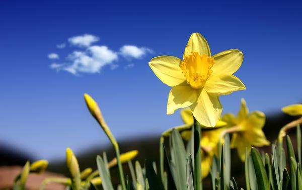 Daffodils/Narcisos de William Wordsworth